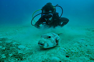 Diver with Giant pufferfish (Arothron stellatus) Mayotte. Indian Ocean. February 2010. - Pascal Kobeh