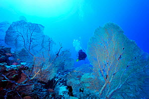 Diver in a forest of Giant seafans (Subergorgia mollis) Mayotte. Indian Ocean. February 2010. - Pascal Kobeh