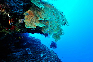 Diver in front of a cave with Giant seafans (Subergorgia mollis) Mayotte. Indian Ocean. February 2010. - Pascal Kobeh