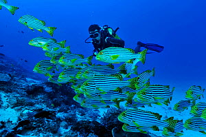 Oriental sweetlips (Plectorhinchus orientalis) with a diver,  Mayotte. Indian Ocean. February 2010.  -  Pascal Kobeh