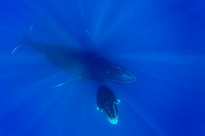 Female Humpback whale (Megaptera novaeangliae) with its calf in open water,  Reunion Island. Indian Ocean.  -  Pascal Kobeh