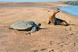 Galapagos sea lion (Zalophus wollebacki), with Green turtle (Chelonia mydas) returning to sea, Galapagos. Pacific ocean.  -  Pascal Kobeh