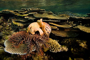 Giant triton (Charonia tritonis) eating a Crown-of-thorns starfish (Acanthaster planci) at night.  New Caledonia. Pacific Ocean.  -  Pascal Kobeh