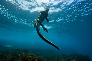 Marine iguana (Amblyrhynchus cristatus) swimming back to the surface,  Galapagos. Pacific ocean.  -  Pascal Kobeh