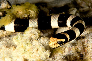 Close-up of a Banded sea snake / Banded sea krait (Laticauda colubrina) New Caledonia. Pacific Ocean.  -  Pascal Kobeh