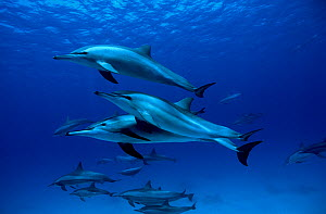 Group of Spinner dolphins (Stenella longirostris) Egypt. Red Sea.  -  Pascal Kobeh