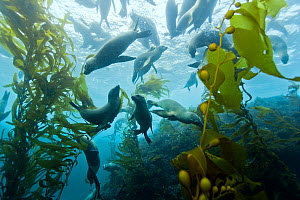 Group of California sea lions (Zalophus californianus) swimming in  kelp forest (Macrocystis pyrifera), California, USA. Pacific ocean.  -  Pascal Kobeh