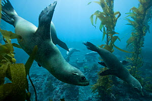 Group of California sea lions (Zalophus californianus) in a kelp forest (Macrocystis pyrifera), California, USA. Pacific ocean.  -  Pascal Kobeh