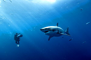 Cameraman filming a Great white shark (Carcharodon carcharias) in open water, Guadalupe island, Mexico. Pacific Ocean. November 2006. - Pascal Kobeh