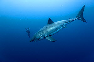 Cameraman filming Great white shark (Carcharodon carcharias) in open water, Guadalupe island, Mexico. Pacific Ocean. November 2006. - Pascal Kobeh