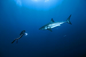 Diver with Great white shark (Carcharodon carcharias) in open water, Guadalupe island, Mexico. Pacific Ocean. November 2006.  -  Pascal Kobeh