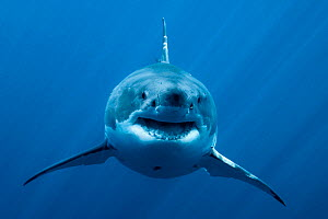 Great white shark (Carcharodon carcharias) in open water, Guadalupe island, Mexico. Pacific Ocean.  -  Pascal Kobeh