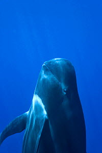 Short-finned pilot whale (Globicephala macrorhynchus) close to the surface,  Costa Rica. Pacific ocean.  -  Pascal Kobeh