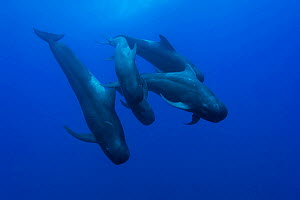 Group of Short-finned pilot whales (Globicephala macrorhynchus) in open water, may be the whole family with the male, the female and the calves, Costa Rica. Pacific ocean. - Pascal Kobeh