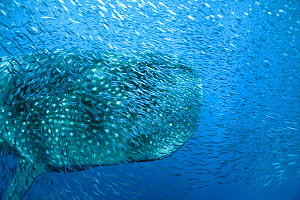 Whale shark (Rhincodon typus) with shoal of anchovies staying near to avoid predation. Los Roques, Venezuela. Caribbean.  -  Pascal Kobeh