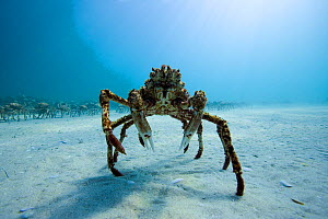 Spider crab (Leptomithrax gaimardii) near aggregation for moulting, South Australia Basin, Australia. Pacific Ocean. - Pascal Kobeh