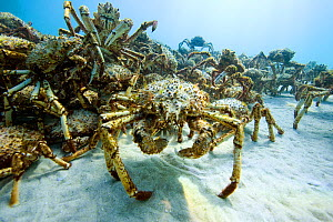 Aggregation of thousands of Spider crabs (Leptomithrax gaimardii) for moulting, South Australia Basin, Australia. Pacific Ocean. - Pascal Kobeh