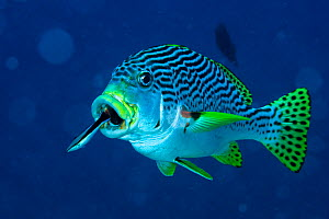 Bluestreak cleaner wrasse (Labroides dimidiatus) just swimming out of mouth of Oblique / Diagonal banded sweetlips (Plectorhinchus lineatus) whilst cleaning / feeding, New Caledonia. Pacific Ocean.  -  Pascal Kobeh