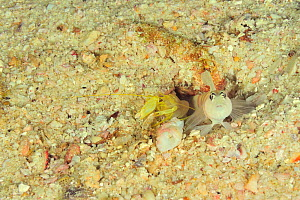 Djeddah snapping shrimp (Alpheus djeddensis) and Steinitz's goby (Amblyeleotris steinitzi) at hole, these species are symbiotic with the goby guarding the shrimp as it digs, coast of Dhofar and Hallan...  -  Pascal Kobeh