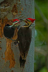 Pileated woodpecker (Dryocopus pileatus) at nest with chick begging for food, District of Columbia, USA, June.  -  John Cancalosi
