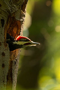 Young Pileated woodpecker (Dryocopus pileatus) in nest, District of Columbia, USA, June.  -  John Cancalosi