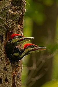 Young Pileated woodpeckers (Dryocopus pileatus) calling in nest, District of Columbia, USA, June.  -  John Cancalosi