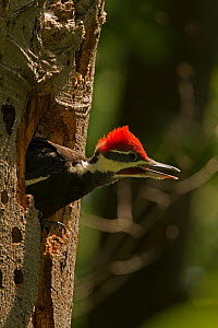 Young Pileated woodpecker (Dryocopus pileatus) calling in nest, District of Columbia, USA, June.  -  John Cancalosi