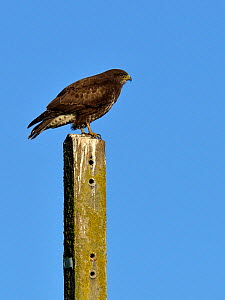 Common buzzard (Buteo buteo) perched, Breton Marsh, France, December. - Loic  Poidevin