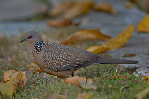 Spotted Dove (Streptopelia chinensis) on the ground, India. - Loic  Poidevin