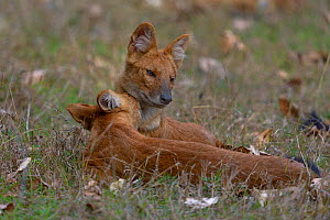Dhole / Indian wild dog (Cuon alpinus) mother and young interacting. Pench National Park, Madhya Pradesh, India.  -  Loic  Poidevin
