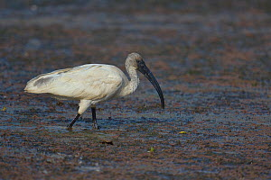 Black-headed ibis (Threskiornis melanocephalus) wading, Pench National Park, India. - Loic  Poidevin
