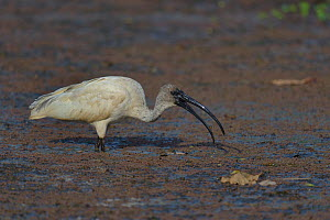 Black-headed ibis (Threskiornis melanocephalus) feeding, Pench National Park, India. - Loic  Poidevin