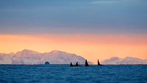 Killer whale / orca (Orcinus orca) pod searching for herring  in Andfjorden, close to Andoya, Nordland, Norway, January (polar night period).  -  Espen Bergersen