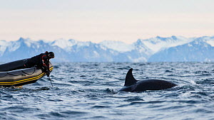 National Geographic photographer taking underwater photos of Killer whale / orca (Orcinus orca). Andfjorden, close to Andoya, Nordland, Northern Norway. January 2014.  -  Espen Bergersen