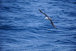 White capped albatross (Thalassarche steadi) in flight at sea. Auckland Islands (Subantarctic), New Zealand, February.  -  Mike Potts