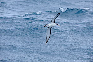 Buller's albatross (Thalassarche bulleri) in flight at sea between Snares Islands and Auckland Islands, New Zealand, February.  -  Mike Potts