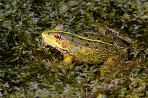 Marsh frog (Pelophylax ridibundus), adult male. Cogden, Dorset, UK July.  -  Colin Varndell