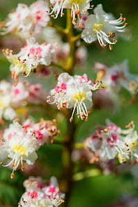 Horse chestnut (Aesculus hippocastanum) flowering in spring. Surrey, England, April.  -  Adrian Davies