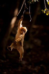 Barbary macaque (Macaca sylvanus) hanging from a branch in the cedar forests of the Middle Atlas Mountains,  Morocco. - Pedro  Narra