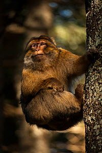 Barbary macaque (Macaca sylvanus) climbing a tree in the cedar forests of the Middle Atlas Mountains, Morocco. - Pedro  Narra