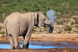 African elephant (Loxodonta africana) blowing water through its trunk at Hapoor waterhole, Addo Elephant national park, South Africa, February  -  Ann  & Steve Toon