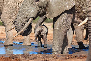 African elephant (Loxodonta africana) herd with a young baby at Hapoor waterhole, Addo Elephant National Park, Eastern Cape, South Africa, February  -  Ann  & Steve Toon