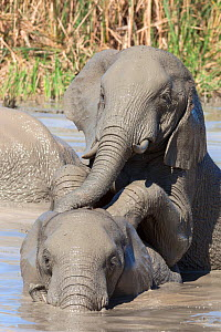 African elephants (Loxodonta africana) playing in water, Addo Elephant National Park, South Africa, February  -  Ann  & Steve Toon