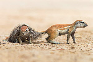 Ground squirrels (Xerus inauris ) one with its tail over the back of another, Kgalagadi Transfrontier Park, Northern Cape, South Africa, February - Ann  & Steve Toon
