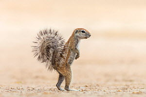 Ground squirrel (Xerus inauris) standing upright, Kgalagadi Transfrontier Park, Northern Cape, South Africa, February - Ann  & Steve Toon