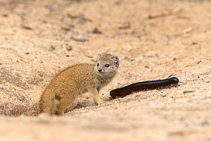 Baby yellow mongoose (Cynictis penicillata) with giant millipedes (Archispirostreptus gigas) by mongoose burrow entrance, Kgalagadi Transfrontier Park, Northern Cape, South Africa, February - Ann  & Steve Toon