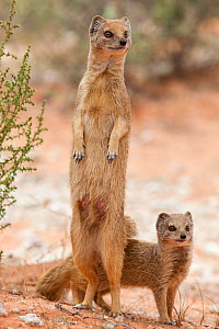 Yellow mongoose (Cynictis penicillata) standing on hind legs with young, Kgalagadi Transfrontier Park, South Africa, February  -  Ann  & Steve Toon