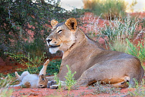 African lioness (Panthera leo) with small cub, Kgalagadi Transfrontier Park, South Africa , January 2014 - Ann  & Steve Toon