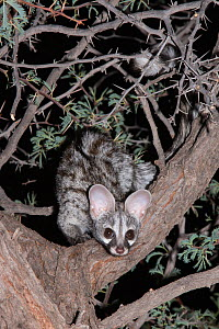 Small spotted genet (Genetta genetta) looking down from an acacia tree at night, Kgalagadi Transfrontier Park, South Africa, January - Ann  & Steve Toon
