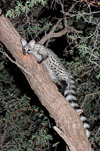 Small spotted genet (Genetta genetta) in an acacia tree, Kgalagadi Transfrontier Park, South Africa, January - Ann  & Steve Toon